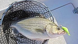 Hybrid Striper,Matt Cartwright,Lake texoma